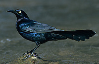 Great-tailed Grackle, Quiscalus mexicanus, male, New Braunfels, Texas, USA
