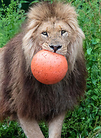 BNPS.co.uk (01202) 558833. <br /> Pic: CorinMesser/BNPS<br />  <br /> <br /> It's Harry Mane - the pride of England.<br /> <br /> Harry the lion looks to inspire the Three Lions for their Euro 2020 quarter-final match with his impressive footballing skills.<br /> <br /> Just like England's Harry Kane, the male lion is the leader of the pride of lions at Longleat Safari Park in Wiltshire.<br /> <br /> And when keepers tossed in a football to stimulate the group, Harry was the first one onto the pitch.<br /> <br /> He showed off his athletic prowess by stretching up to a tree branch to dislodge a red and white ball with the Three Lions emblem emblazoned on it.