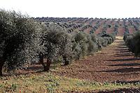 Near Tarhouna, Libya - Countryside, Olive Grove