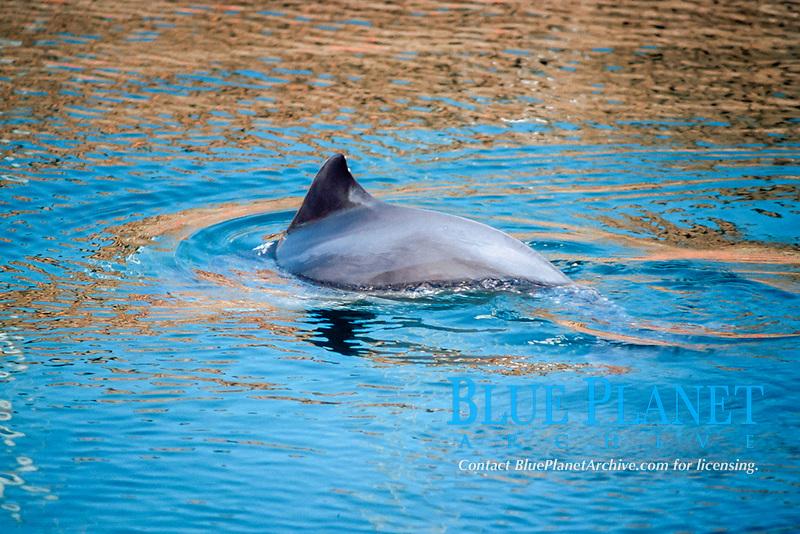 harbour porpoise, common porpoise Phocoena phocoena, Fjord Beltcenter, Kerteminde, Denmark, Baltic Sea, Atlantic Ocean (c)