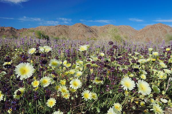 Desert in bloom with Desert Dandelion (Malacothrix californica), Chia (Salvia columbariae), Arizona lupine (Lupinus arizonicus), Joshua Tree National Park, California, USA