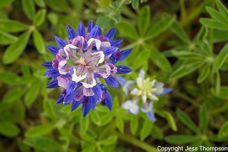 Top view of bluebonnet with purple on its petals.