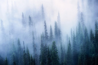 Fog in trees. Sunrise side. Mt. Rainier National Park, Washington
