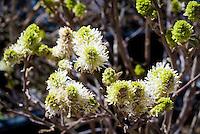 Fothergilla x intermedia 'Mt. Airy' aka Fothergilla major 'Mount Airy' aka Fothergilla gardenii Mt Airy aka Blue Shadow in white spring bloom