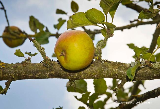 Ribston Pippin apple, An eighteenth-century English eating apple oringinating inYorkshire, England.
