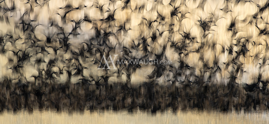 A flock of Red-winged Blackbirds takes to the air.