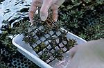 Foto: VidiPhoto..ARNHEM - 'Tandenpoetsen' bij babykoraal. Uiterst voorzichtig poetst een medewerkster van Burgers' Zoo in Arnhem algenaanslag weg bij babykoralen. Samen met Diergaarde Blijdorp in Rotterdam werkt de Arnhemse dierentuin aan een zeer succesvol natuurbeschermingsprogramma om koralen te laten voortplanten in 'gevangenschap'. Hiermee wordt voorkomen dat Europese aquaria en dierentuinen gebruik moeten maken van wilde, natuurlijke, koralen.