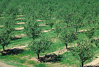 aerial shot of almond trees in orchard. almond, nut, nuts, crop, agriculture, harvest, food, trees, pattern, green. Yolo California.