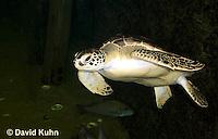 0606-0901  Atlantic Green Sea Turtle Swimming Underwater, Chelonia mydas  © David Kuhn/Dwight Kuhn Photography