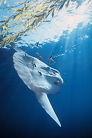 ocean sunfish, Mola mola, being cleaned under kelp paddy, San Diego, California, USA, East Pacific Ocean