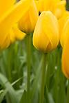 Yellow tulips at the Keukenhof in the Netherlands.