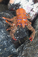 Bunter Furchenkrebs, Gestreifter Furchenkrebs, Blaustreifen-Springkrebs, Blaugestreifter Springkrebs, Bunter Springkrebs, Galathea strigosa, Galathaea strigosa, Strigose squat lobster, Spiny Squat Lobster, Spinous Squad Lobster