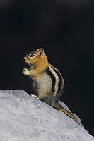 Golden-mantled Ground Squirrel (Spermophilus lateralis), adult, Rocky Mountain National Park, Colorado, USA