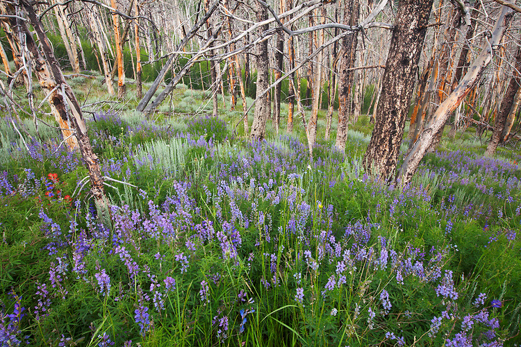 Lupine (Lupinus) grows in a burn area caused by the 2003 Bulldog wildfire in the Henry Mountains in southern Utah, USA