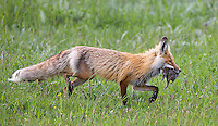 There were numerous red fox sightings during my spring adventures.