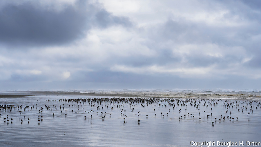 Sandpipers are a large family! Scolopacidae. Grayland Beach, Washington.  Grayland Beach Stae Park.
