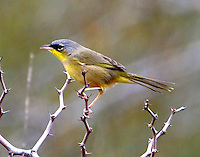 Adult gray-crowned yellowthroat. The gray-crowned yellowthroat lives on the east and west coasts of Mexico and through Central America. It is rare in south Texas. Its habitat is grassy fields with small trees and bushes. This bird has been hanging out in exactly that habitat in the Estero Llano Grande State Park near Weslaco, TX for several weeks. It roams through the deep grass and then periodically jumps up singing and calling. The pictures shown here were taken on February 6, 2015.