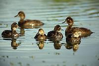 Ducklings swimming in Tern Lake, Kenai Peninsula, Chugach National Forest, Alaska.