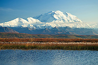 A kettle pond rimmed with blossoming flora and the fall color of the subarctic tundra frame Mt. McKinley, Summit 20,320 ft, known as The High One or Denali.  Denali National Park, Alaska USA