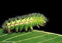 LE43-001b  Moth - Io Moth caterpillar - Automeris io