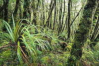Juicy green, in moss cloaked native forest on Heaphy Track, Kahurangi National Park, Nelson Region, New Zealand