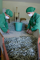ALBANIA, Cape Rodonit, processing of herbal and medical plants at company Naturalba, sage / ALBANIEN, Kap Rodonit, Verarbeitung von Heil- und Gewuerzpflanzen bei Firma Naturalba, Sortierung von getrocknetem Salbei