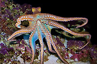 day octopus, or big blue octopus, Octopus cyanea, Oahu, Hawaii, USA, Pacific Ocean (c)