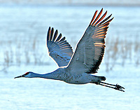Greater sandhill crane flying from over-night roosting pond.