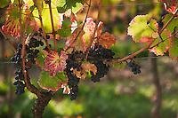 Europe/Europe/France/Midi-Pyrénées/46/Lot/Luzech: Château de Caix le vignoble AOC Cahors, vieux cep et grappes - Cépage Malbec