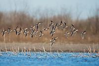 Long-billed Dowitcher (Limnodromus scolopaceus), flock in flight, Welder Wildlife Refuge, Sinton, Texas, USA