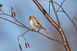 Female common redpoll perched in a speckled alder in northern Wisconsin.