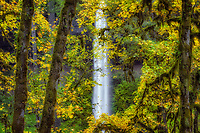 Big Leaf Maple trees in fall. Silver Falls State Park, Oregon