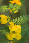 Partridge Pea wildflower on the prairie