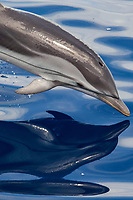 Striped Dolphin, Stenella Coeruleoalba, porpoising with reflection visible, Maldives, Indian Ocean
