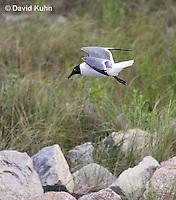 0609-0903  Laughing Gull in Flight, Leucophaeus atricilla  © David Kuhn/Dwight Kuhn Photography