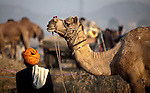"""4 November 2011, Pushkar, India:  The Pushkar Fair, or Pushkar ka Mela, is the annual five-day camel and livestock fair, held in the town of Pushkar in the state of Rajasthan, India. It is one of the world's largest camel fairs, and apart from buying and selling of livestock it has become an important tourist attraction and its highlights have become competitions such as the """"matka phod"""", """"longest moustache"""", and """"bridal competition"""" are the main draws for this fair which attracts thousands of tourists. In recent years the fair has also included an exhibition cricket match between the local Pushkar club and a team of random foreign tourists.It is celebrated for five days from the Kartik ekadashi to Kartik Poornima, the full moon day (the 15th) of Kartik (November-December) in Hindu calendar. The full moon day is the main day and the day, according to legend, when the Hindu god Brahma sprung up the Pushkar Lake, thus numerous people swim in its sacred waters. Pictures by Graham Crouch"""