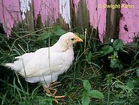 DG13-071z  Immature chicken developing comb - White Leghorn
