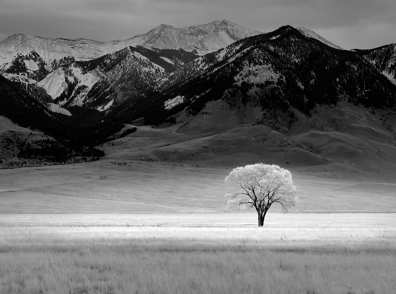 Lone tree in fall color in vast pasture. Near Ennis Montana