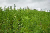 9-8-2021 Hemp being grown on a commercial scale<br /> ©Tim Scrivener Photographer 07850 303986<br />      ....Covering Agriculture In The UK....