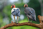 Adult (left) and juvenile (right) king vultures (Sarcoramphus papa). Laguna de Lagarto, Boca Tapada, north east Costa Rica (baited and photographed from a hide).