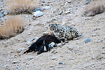 Wild female snow leopard (Panthera uncia)(sometimes Uncia uncia) with its kill - a domestic yak calf (Bos grunniens). Ladakh Range, Western Himalayas, Ladakh, India.