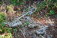 Bones of a black-tailed deer, Odocoileus hemionus, apparently killed by a car in Mendocino County, California