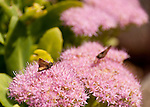 Butterflies investigate flowers in the garden at Hillsborough Vineyards.