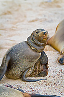 Galapagos sea lion, Zalophus wollebaeki, endangered species, entangled with fishing line, on the beach on San Cristobal Island in the Galapagos Island Archipelago, Ecuador, Pacific Ocean