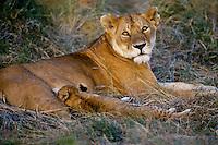 Female african lion (Panthera leo) nursing young. Serengeti National Park, Tanzania.