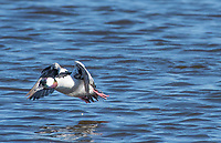 Male Bufflehead, Bucephala albeola, flies over Lake Ewauna, Oregon