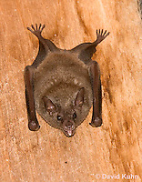 0715-1111  Seba's Short-tailed Bat, Roosting in Building in Belize, Carollia perspicillata  © David Kuhn/Dwight Kuhn Photography
