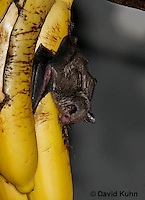0211-08tt  Seba's Short-tailed Bat Feeding on Banana, Carollia perspicillata © David Kuhn/Dwight Kuhn Photography