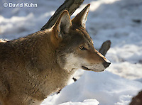0221-1006  Critically Endangered Red Wolf in Snow, Canis rufus (syn. Canis niger)  © David Kuhn/Dwight Kuhn Photography.