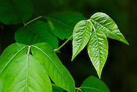 Close-up of a young trifoliate leaflet of Poison Ivy (Toxicodendron radicans) amongst older foliage. Maturing leaves tend to have a shiny appearance. Mid-May, Franklin County, Ohio.